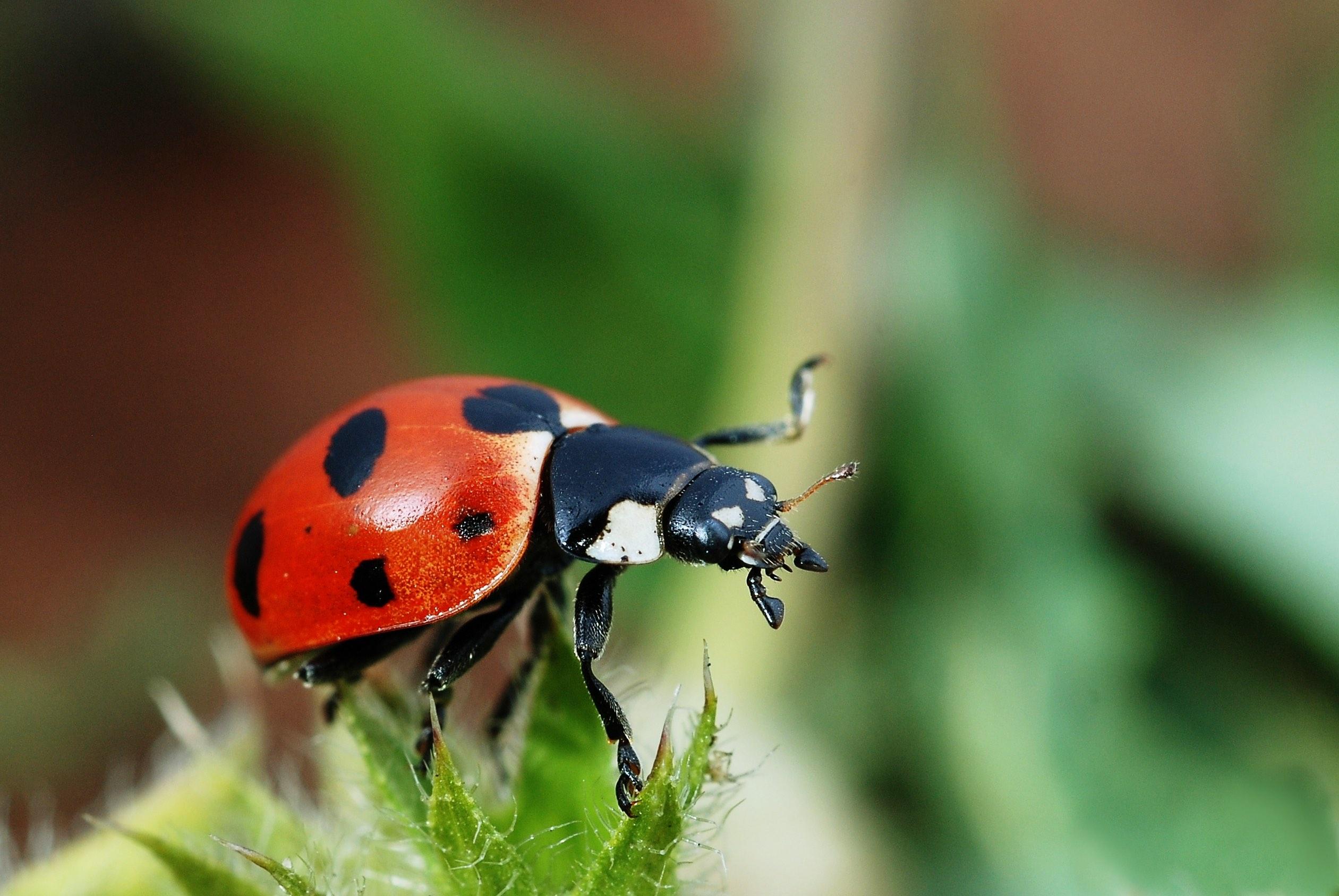 lady-beetle